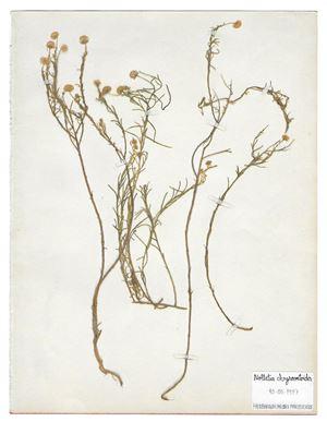 The Extinct Flora in Spain (Sketches) 012. Nolletia chrysocomoides by Juan Zamora contemporary artwork