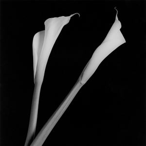 Calla Lilies by Robert Mapplethorpe contemporary artwork
