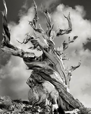 Bristlecone Pine Tree by Beth Moon contemporary artwork