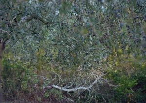 PETALUMA OLIVE TREES (for Sam) by JoAnn Verburg contemporary artwork