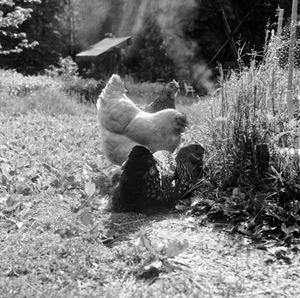 Chickens (Smoke) by Moyra Davey contemporary artwork photography