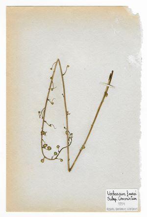 The Extinct Flora in Spain (Sketches) 09. Verbascum faurei by Juan Zamora contemporary artwork