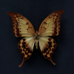 Butterfly #6 by Krisada Suvichakonpong contemporary artwork