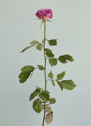Untitled #12 from the series Rose is a rose is a rose by Heeseung Chung contemporary artwork