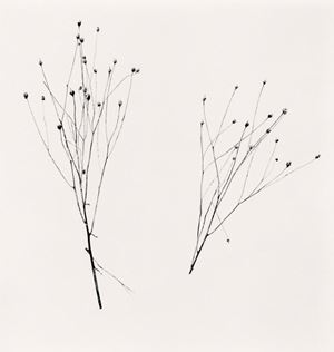 Two Winter Stalks by Michael Kenna contemporary artwork
