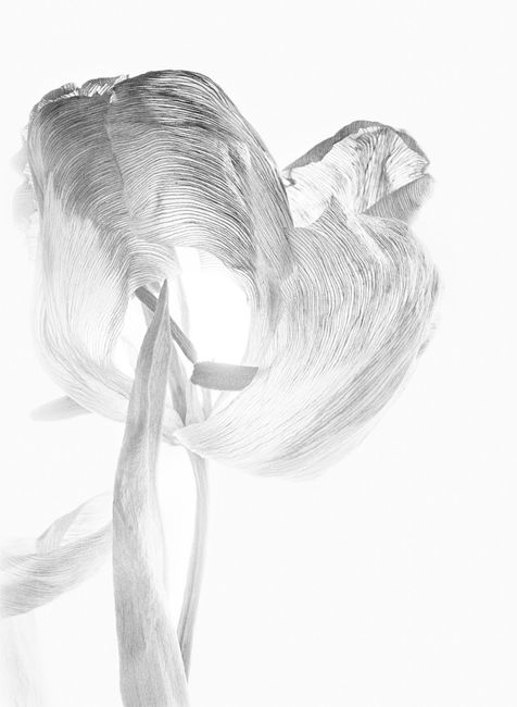 Tulipa I by Walter Schels contemporary artwork