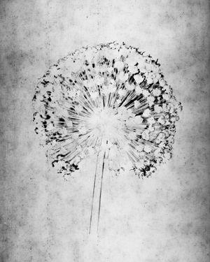 Allium II by Walter Schels contemporary artwork photography
