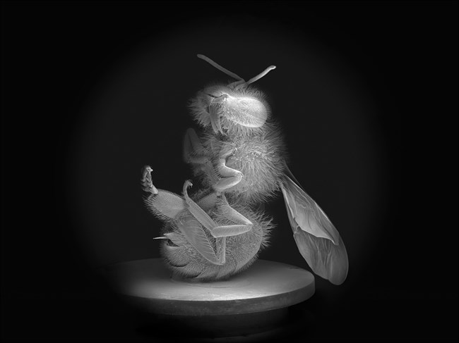 Dead Bee Portrait #8 by Anne Noble contemporary artwork