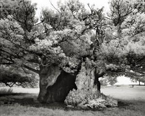 Queen Elizabeth Oak by Beth Moon contemporary artwork