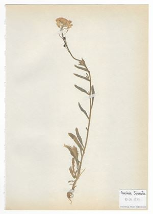 The Extinct Flora in Spain (Sketches) 05. Aurinia sinuata by Juan Zamora contemporary artwork