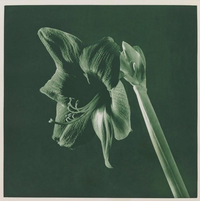 Untitled [Amaryllis]. From the Portfolio 'Flowers' by Robert Mapplethorpe contemporary artwork