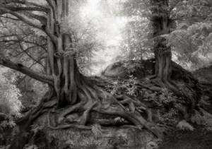 The Yews of Wakehurst by Beth Moon contemporary artwork