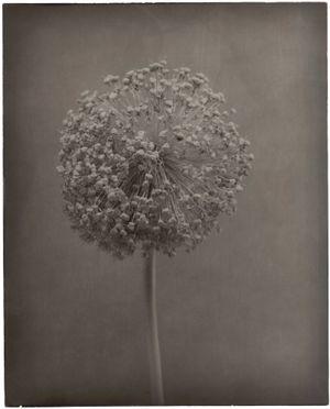 Allium I by Walter Schels contemporary artwork photography