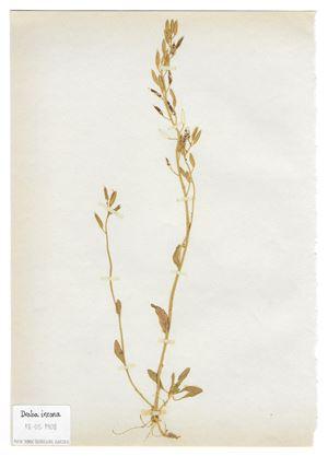 The Extinct Flora in Spain (Sketches) 010. Draba incana by Juan Zamora contemporary artwork