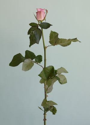 Untitled #08 from the series Rose is a rose is a rose by Heeseung Chung contemporary artwork