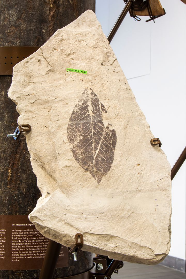 A segment of fossil with a leaf in it is placed upon a pole in the gallery space.