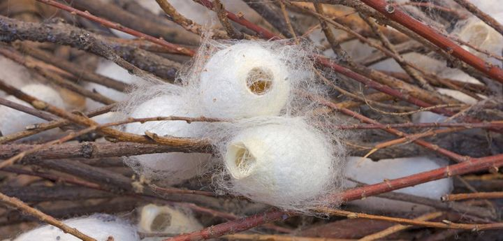 A close-up shot of silkworm cocoons are open at the end, showing that the moth has left the cocoon.