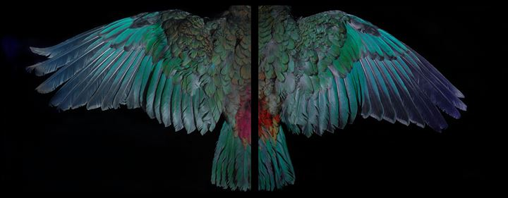 Fiona Pardington, Davis Kea Wings (above) (2015). Archival inkjet print on gessoed substrate or hahnemuhle paper. 825 x 1100 mm. Courtesy the artist and Starkwhite.