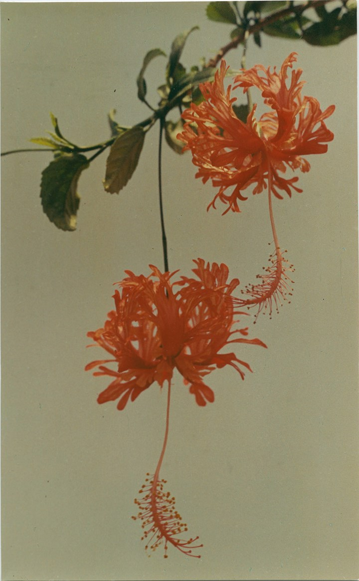 Yinxian Wu, Chinese Hibiscus (1977). Chromogenic colour print. 16.8 x 27.2 cm. Courtesy Lévy Gorvy.