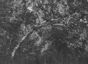 Curved branch by Roy DeCarava contemporary artwork