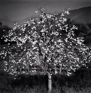 Persimmon Tree by Michael Kenna contemporary artwork