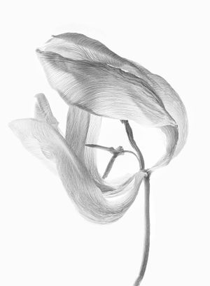 Tulipa II by Walter Schels contemporary artwork painting