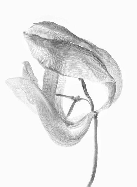 Tulipa II by Walter Schels contemporary artwork
