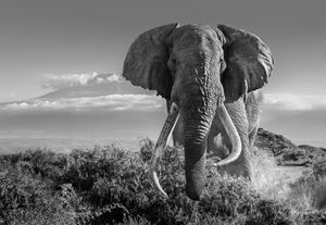 Africa 2 by David Yarrow contemporary artwork