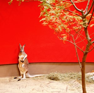 Kangaroo and red wall by Eric Pillot contemporary artwork