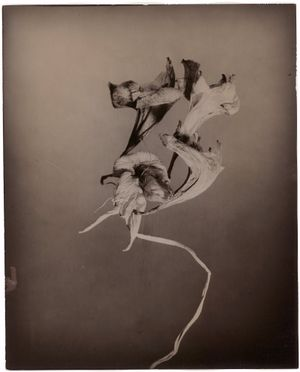 Alstroemeria by Walter Schels contemporary artwork photography