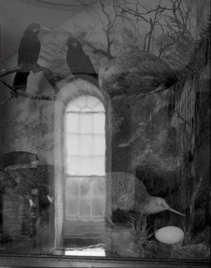 12.11.2000 Huia, Kakapo, Kiwi, Kea. The Onslow Room, Clandon Park, Surrey, England. by Mark Adams contemporary artwork