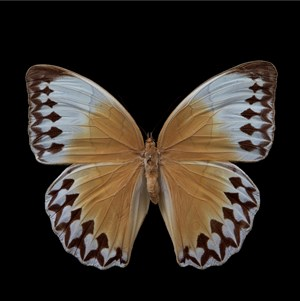 Butterfly #10 by Krisada Suvichakonpong contemporary artwork