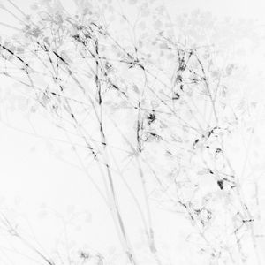 Gypsophila by Walter Schels contemporary artwork painting