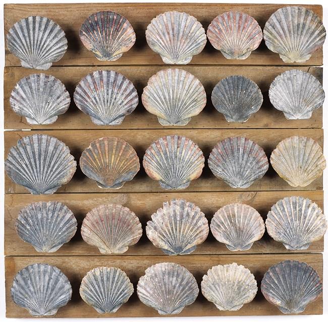 Untitled (25 scallop shells) by Rosalie Gascoigne contemporary artwork