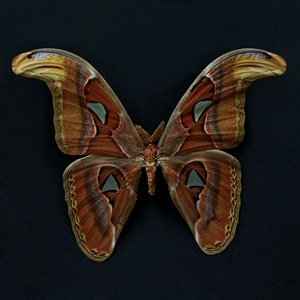 Butterfly #8 by Krisada Suvichakonpong contemporary artwork