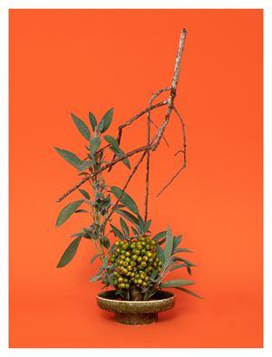 The Sibyl, Sage (Salvia sp.) by Ann Shelton contemporary artwork