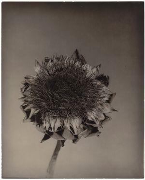 Cynara I by Walter Schels contemporary artwork photography