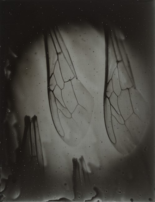 Bee Wing Morphology #7 by Anne Noble contemporary artwork