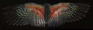 Davis Kea Wings by Fiona Pardington contemporary artwork