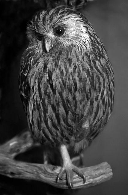 Laughing Owl, Canterbury Museum by Fiona Pardington contemporary artwork