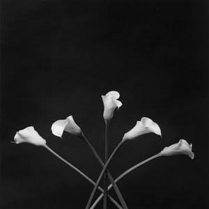 Calla Lillies by Robert Mapplethorpe contemporary artwork