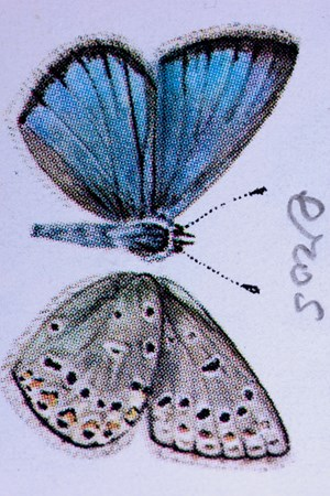 Eros, from Nabokov's copy of W.J. Holland, The Butterfly Book, I by Fiona Pardington contemporary artwork