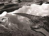Marine Iguana, Galápagos, Ecuador by Sebastião Salgado contemporary artwork photography