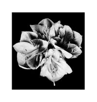 Amarilis by Almin Zrno contemporary artwork photography, print