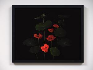 Nasturtium flowers, Omiha by Greta Anderson contemporary artwork