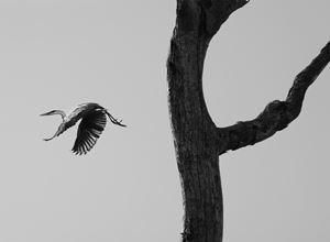 The garca moura, or Cocoi heron, Pantanal, Mato Grosso do Sul, Brazil by Sebastião Salgado contemporary artwork