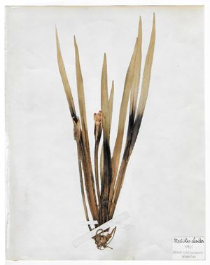 The Extinct Flora in Spain (Sketches) 04. Stratiotes aloides by Juan Zamora contemporary artwork