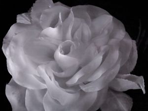 Auntie Ollie's White Rose by Fiona Pardington contemporary artwork