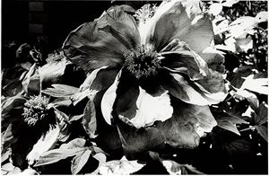 Light and Shadow 1: (Flower) by Daido Moriyama contemporary artwork