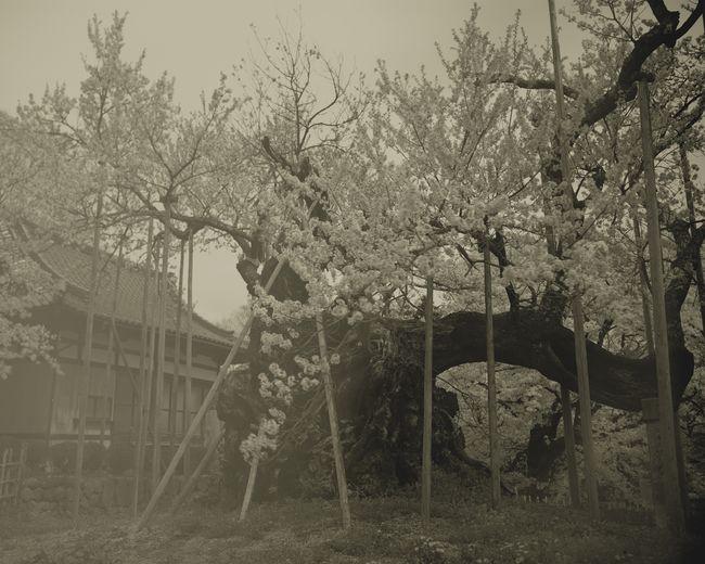 Yamataka Shindaisakura_1 by Keiichi Ito contemporary artwork